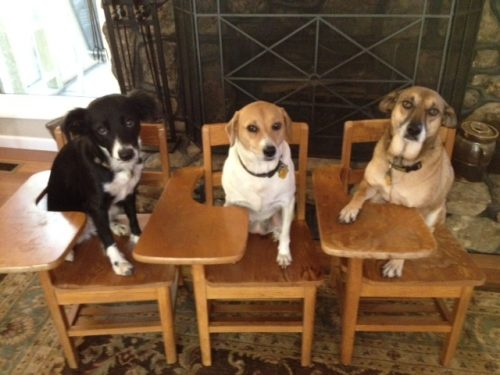 Daisy, a black and white dog; Lucy, a white dog with brown head and Reesie a brown dog on sitting in chairs with desks