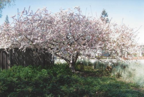 The cherry tree in the front yard of the author's childhood home in full bloom.