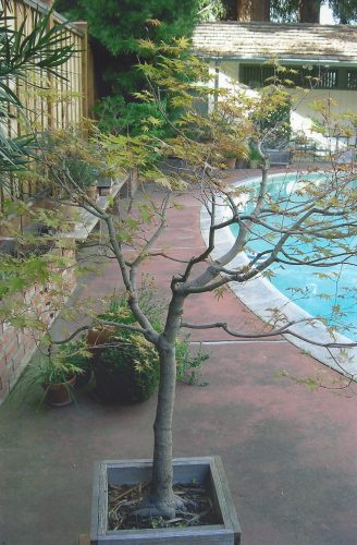 An almost bare maple tree in a wooden pot in the foreground; other plants in pots on the reddish concrete and a wooden bench. A small part of the bright blue pool can be seen on the right.
