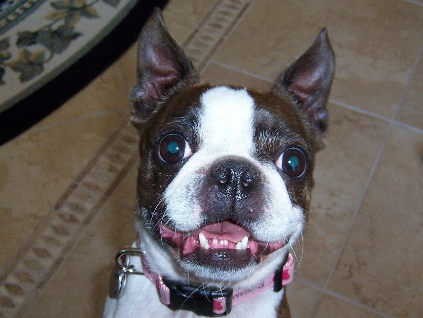 The author's black and white Boston Terrier, Hope