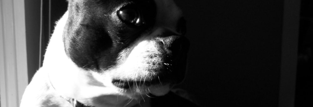 Harmony, a black and white Boston terrier