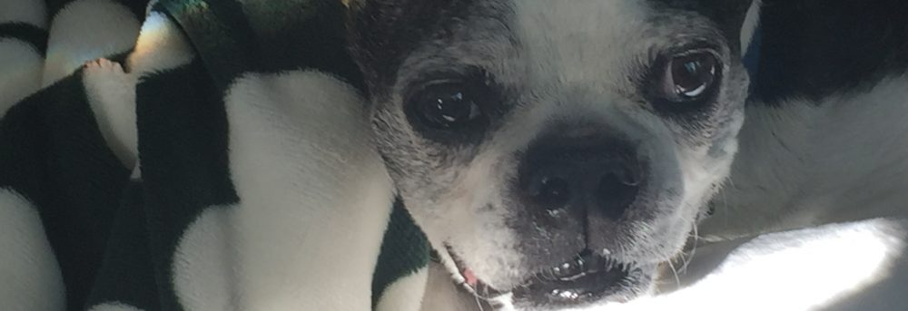 Harmony, a black and white Boston terrier