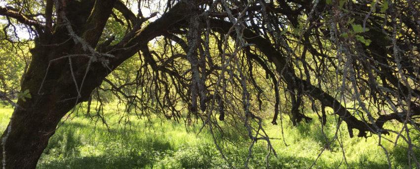 An oak tree in a grassy field