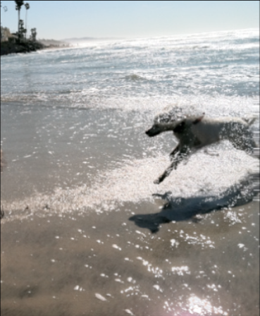 Tilly running at the beach through the water. Her tail and the bottom part of her back legs are cut off on the right side and the water is spraying on her.