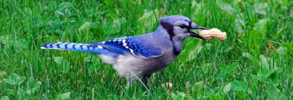 Blue jay on the grass holding a peanut in its mouth