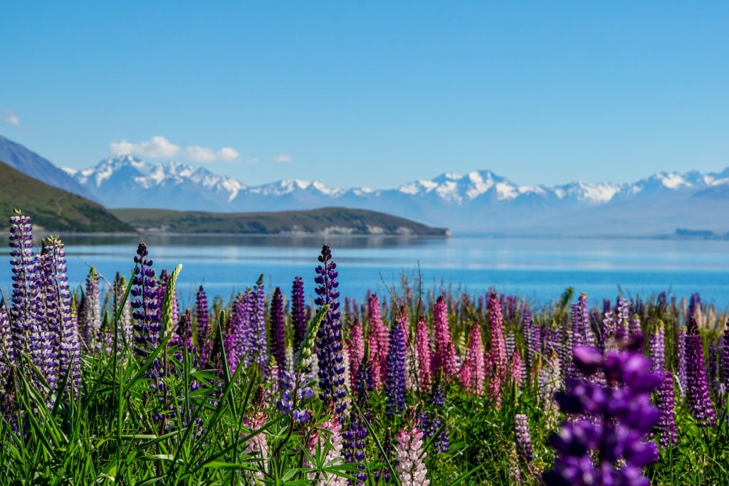 Lake Tekapo in New Zealand with multi-colored lupine -- purple, dark pink, etc. in front and a peninsula and mountains