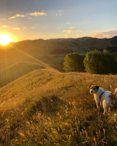 Tessa's brother's dog on a grass hill at sunset. The grass looks gold. The dog is mostly white with some brown patches and a brown face and ears with white nose
