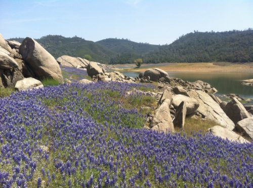 Purple lupine like a carpet on the hill with granite rock outcroppings and dark gray green covered hills in the background
